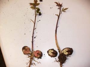 Лещина и фундук – украшают сад и дают урожай вкусных и полезных орехов