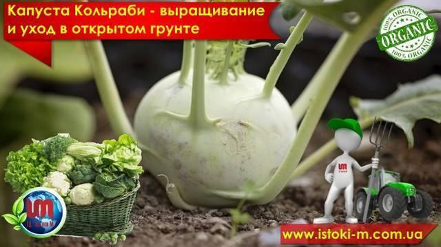 Посадка кольраби | вырасти сад!