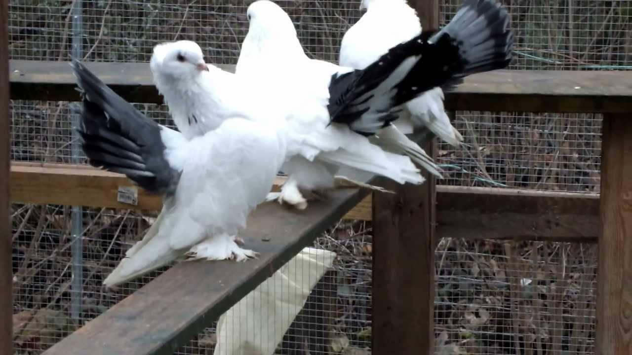 Статные голуби: описание породы с фото, особенности содержания и кормления, видео