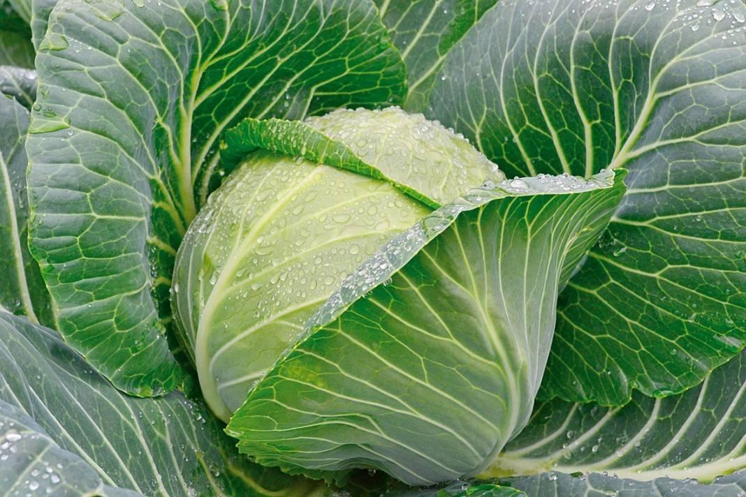 Чем обработать капусту от вредителей народными средствами – составы, рецепты + фото