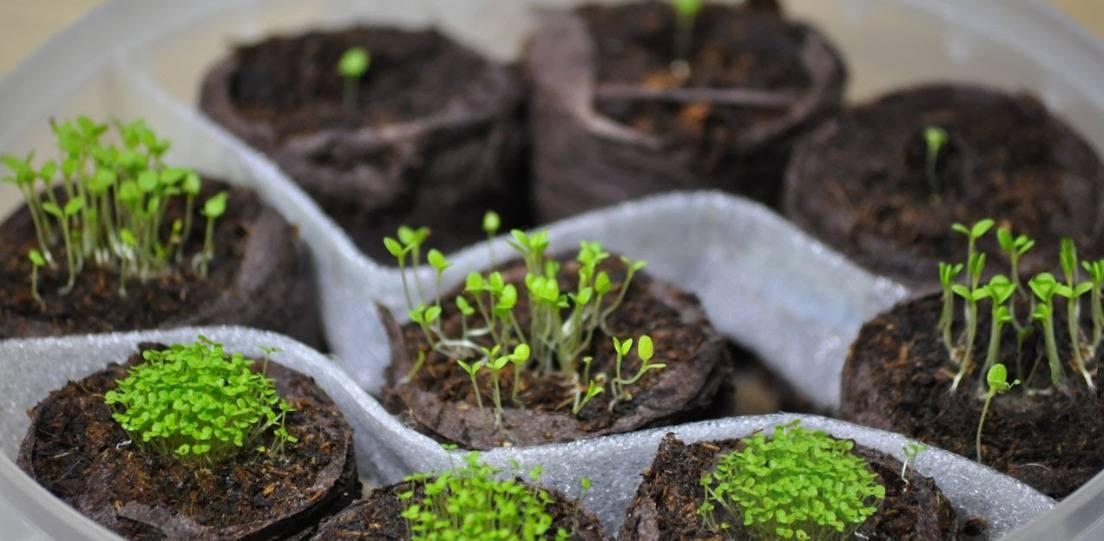 Рассада петунии: посев, выращивание, уход, пикировка