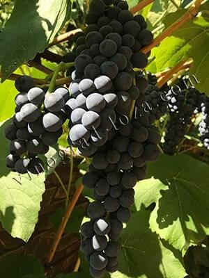 Виноград воевода – гармония вкуса и удивительный размер ягод