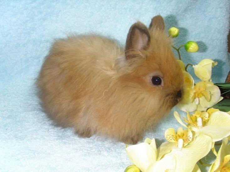 Лисий карликовый кролик: характеристики и особенности породы