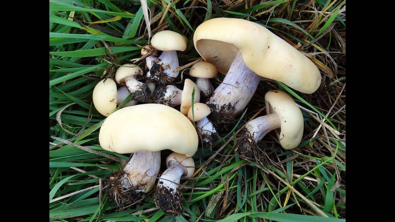 Синеножка: описание гриба, особенности произрастания