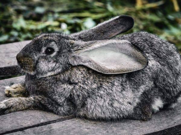 Почему крольчиха не рвет пух перед родами? причины и окрол