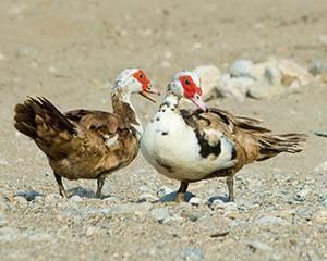 Подрезка крыльев индюкам: описание, схема, фото