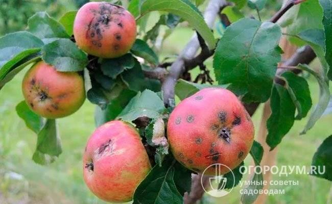 Парша на яблоне: фото болезни, способы борьбы, меры профилактики