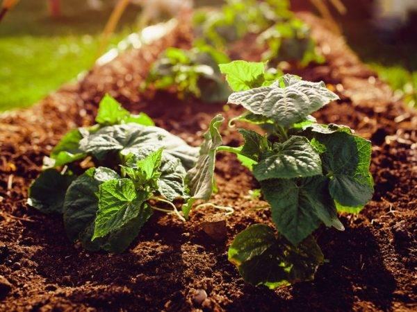 Какую почву любят огурцы и как подготовить землю к посадке: методы для теплицы и открытого грунта