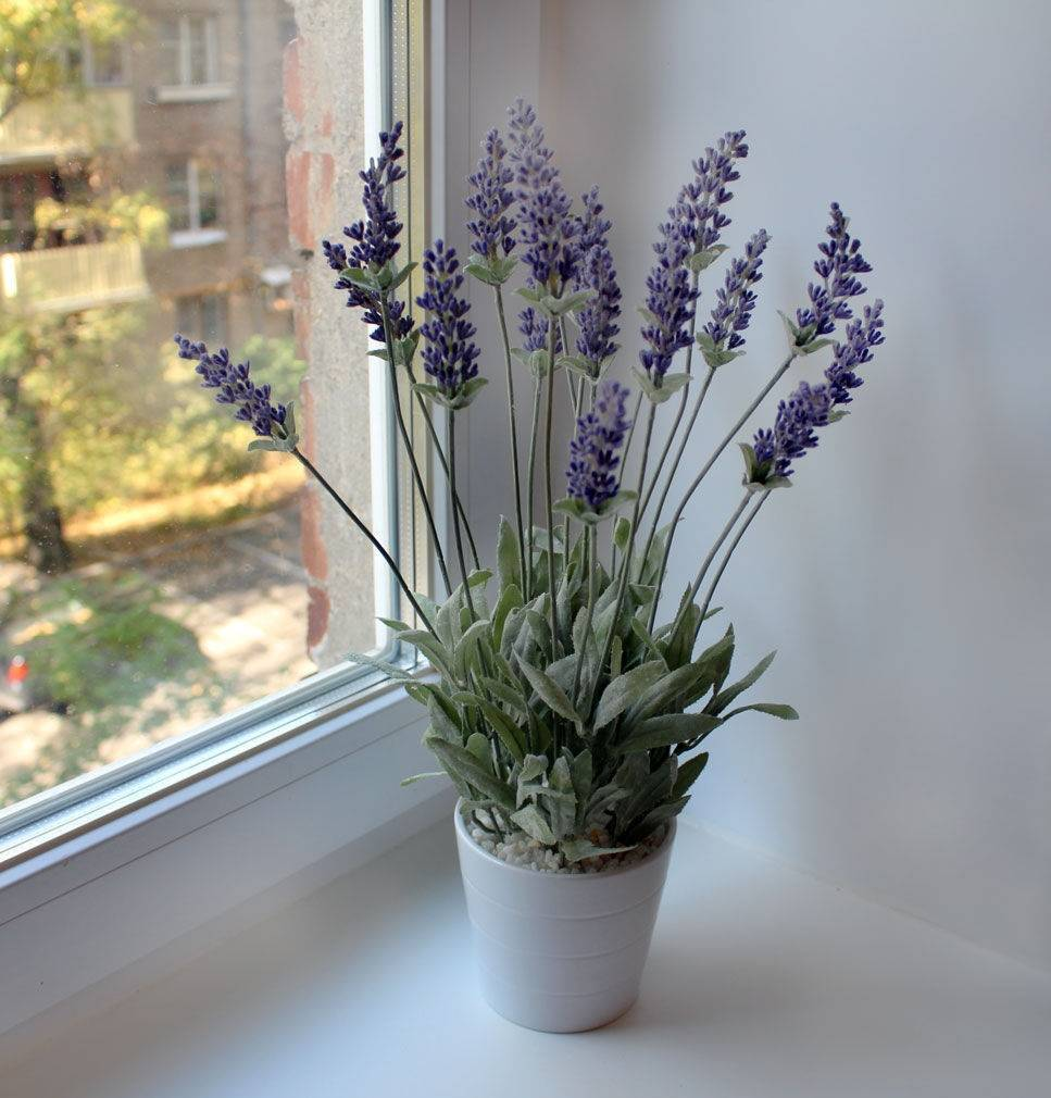 Как вырастить лаванду из семян? в домашних условиях. посадка и уход. фото — ботаничка.ru