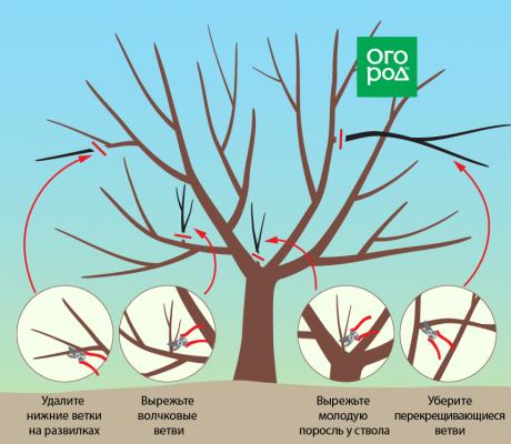Обрезка вишни осенью – схема для начинающих в картинках, инструкции и видео
