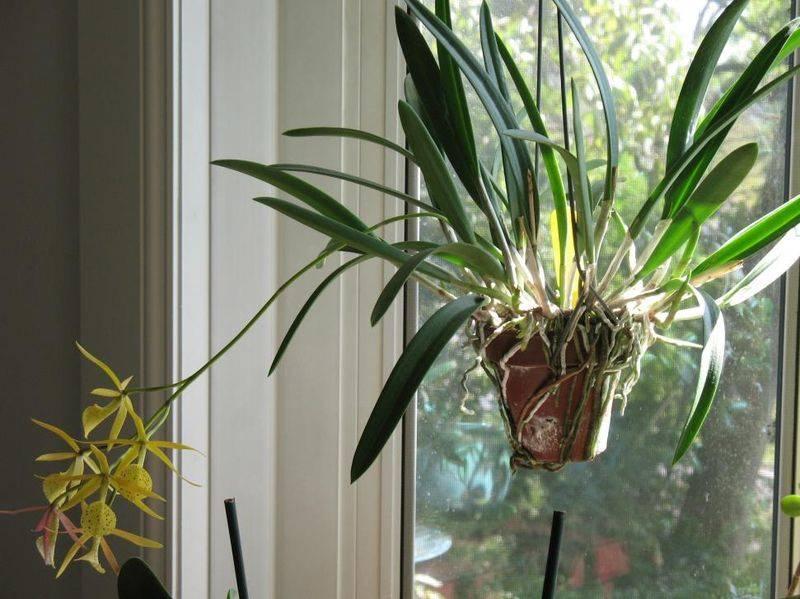 Орхидея брассавола: описание, отзывы, посадка и уход в домашних условиях, пересадка