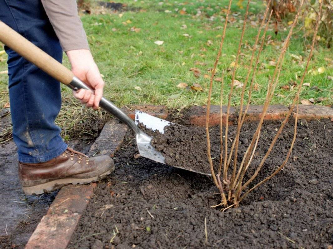 Весенние этапы технологии выращивания крыжовника