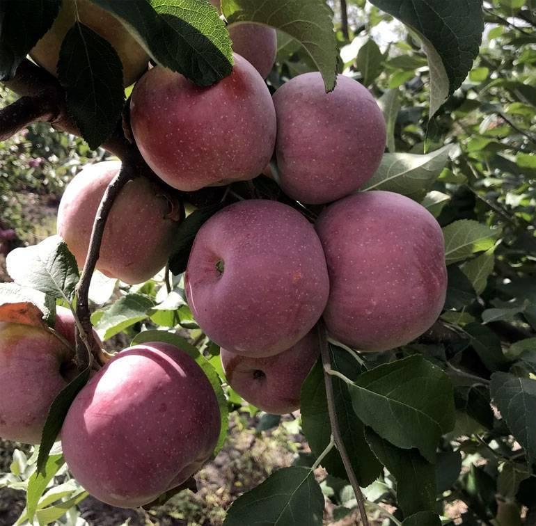 Яблоня флорина - секреты выращивания сорта, описание, фото, видео