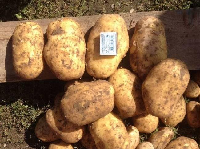 Картофель коломбо надо выкапывать раньше. картофель коломбо: 8 особенностей и 10 советов по выращиванию и хранению
