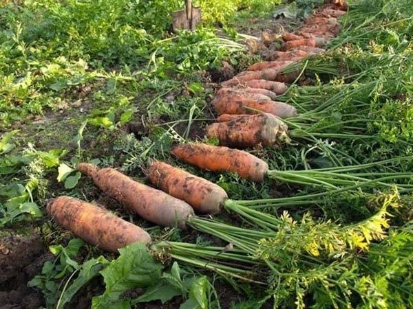 Описание сорта моркови самсон: характеристика, урожайность, отзывы