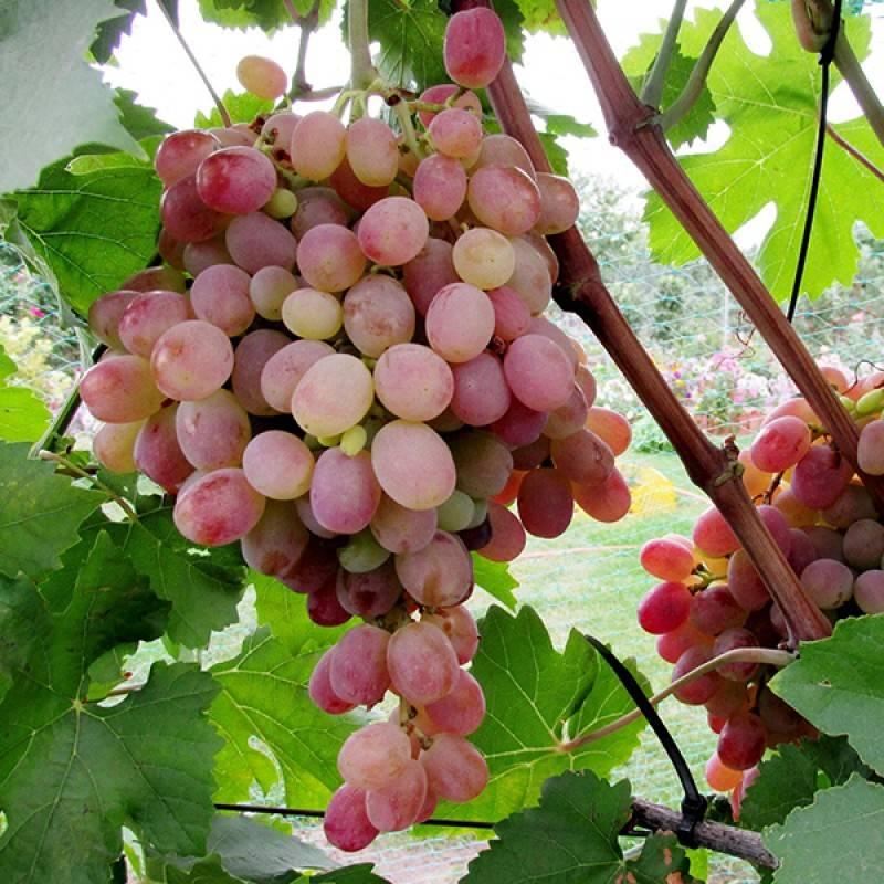 Описание винограда минский розовый - дневник садовода semena-zdes.ru