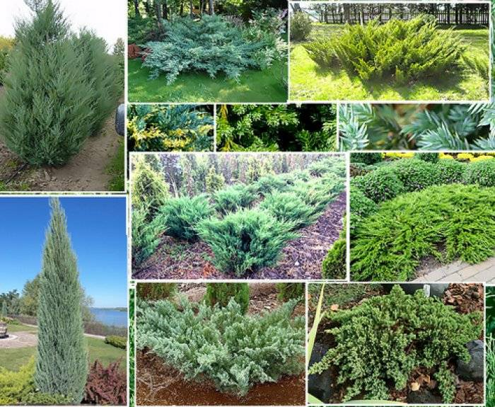 Хвойные деревья и кустарники: фото с названиями