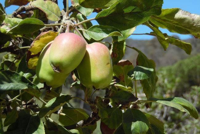 Как пересадить яблоню осенью на новое место: когда лучше пересаживать