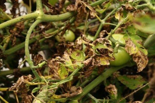Один из самых надежных иностранных фунгицидов для томатов — строби: инструкция по применению, аналоги средства