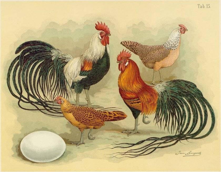 Порода кур феникс: описание и особенности содержания