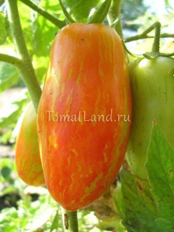 Томат перцевидный: гигант, оранжевый, полосатый, желтый, крепыш, розовый, красный