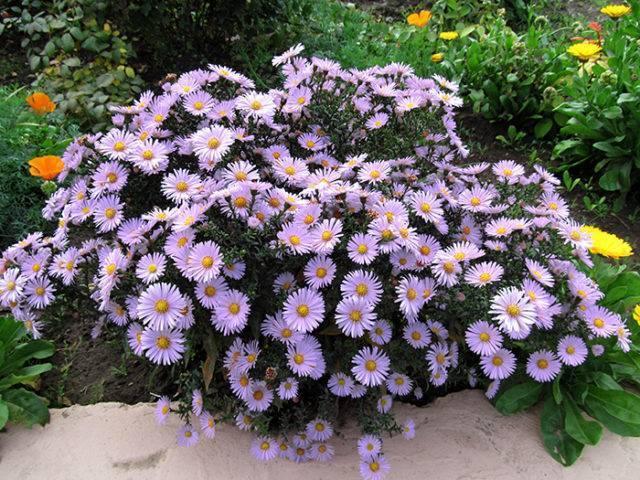 Цветы сентябринки: описание, посадка и уход и размножение и удобрение, а также оттенки (октябринки)
