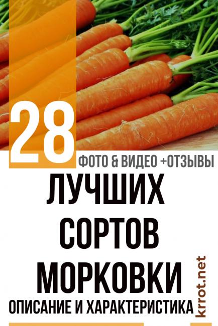 Лучшие сорта моркови: для хранения, ранние, крупные, сладкие, для сибири, подмосковья, урала, средней полосы, для открытого грунта