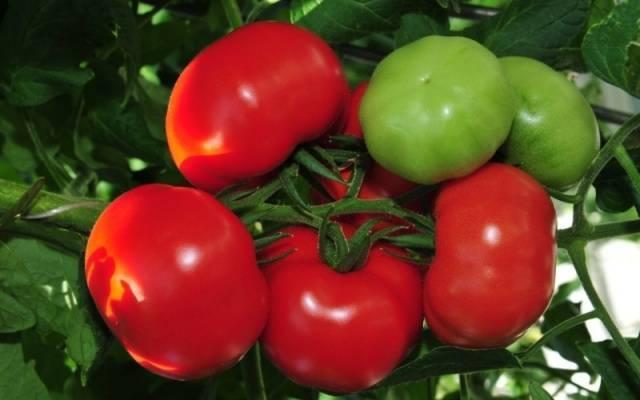 Гибридный сорт томата кукла
