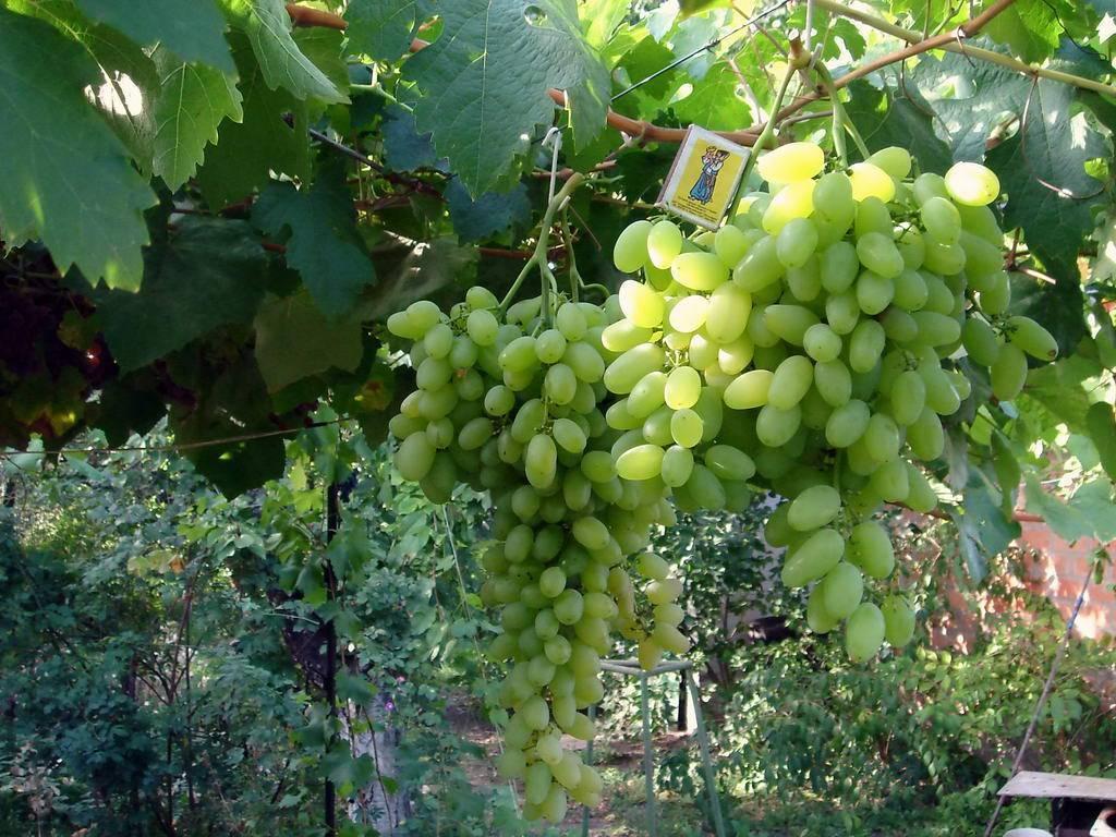 Сорт винограда подарок запорожью: фото, отзывы, описание, характеристики.