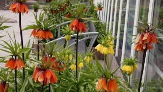 Рябчик: выращивание в саду, виды и сорта