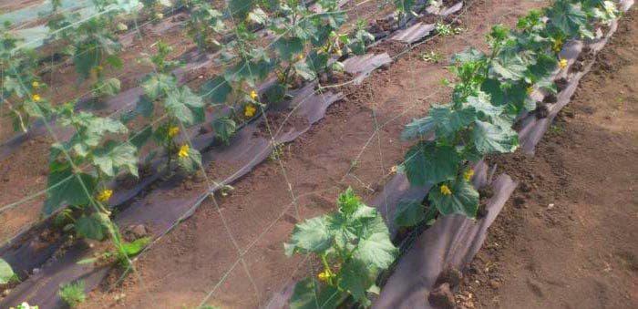 Куриный помет как удобрение для помидор и огурцов - можно ли использовать и как это делать правильно?