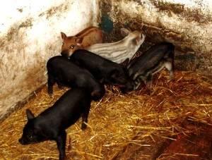 Кармалы: порода свиней - поросята и взрослые особи, их характеристика и описание, содержание, разведение и уход
