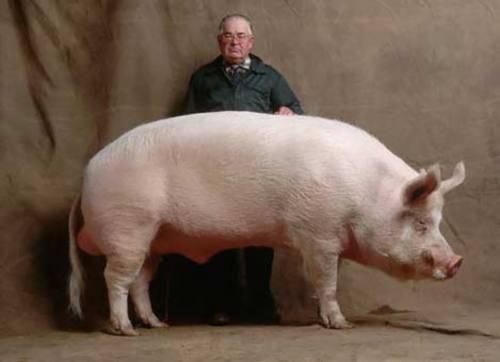 Гетерозис в свиноводстве: инбридинг, гибридизация свиньи