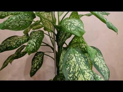 Что делать если у диффенбахии желтеют листья, основные ошибки при уходе за растением