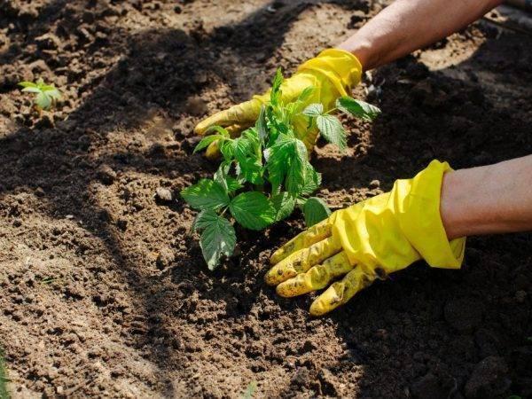 Посадка малины осенью: как и когда правильно сажать малину. выбор месяца и условия содержания для хорошего урожая (75 фото)