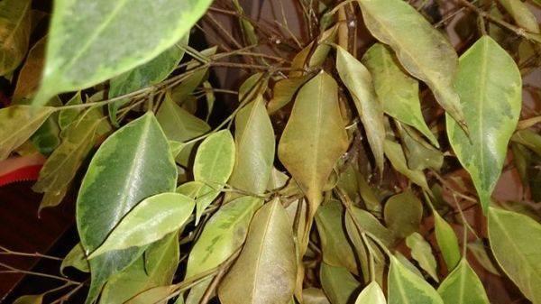 Фикус бенджамина сбрасывает листья: почему и что делать