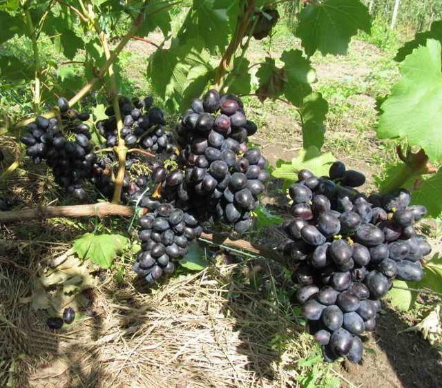 Виноград кодрянка: описание сорта, фото, характеристики, посадка и уход selo.guru — интернет портал о сельском хозяйстве