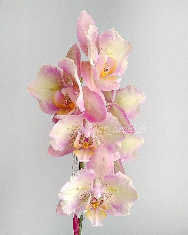 Описание орхидеи Легато бабочка