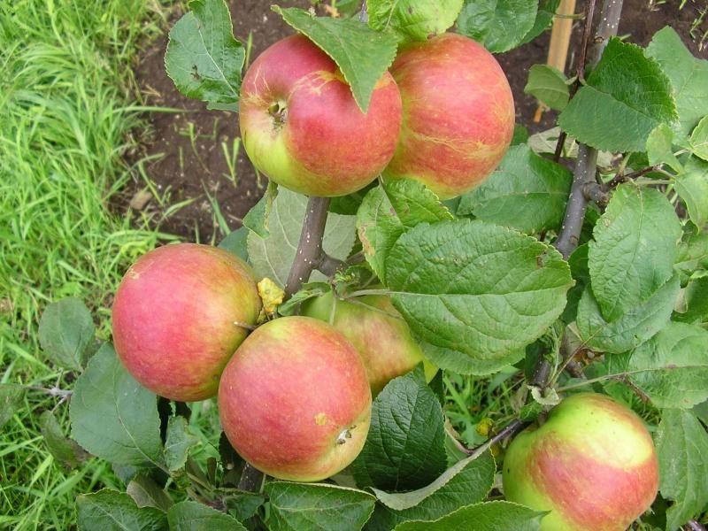 Жемчужина сада — яблоня «осенняя радость»