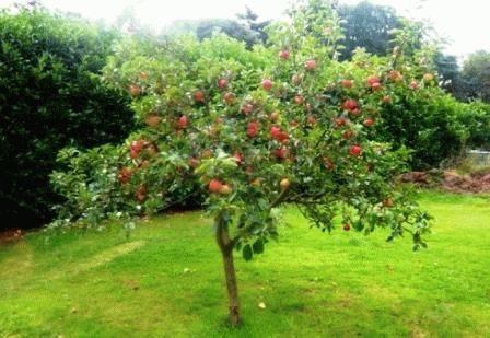 Описание яблони «медуница»: особенности сорта, фото. технология посадки и выращивание яблони «медуница», подкормки сорта - автор екатерина данилова - журнал женское мнение