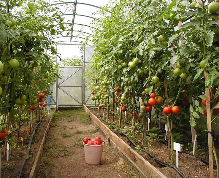 Правила подкормки помидоров в теплице