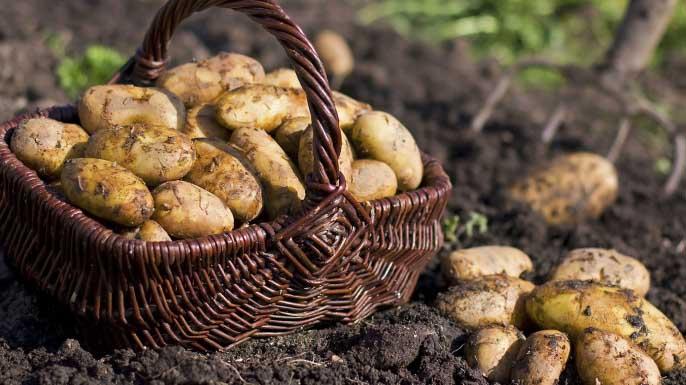 Лучшие сорта картофеля для сибири (западной и восточной): описание и характеристики, фото