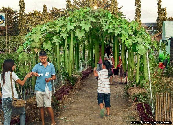 Как вырастить люфу (люффу) из семян, посадка и уход + фото