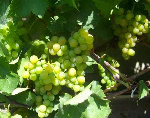 Виноград сувенир: описание сорта, уход, урожайность и отзывы