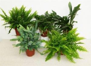 Цветок асплениум (костенец), уход в домашних условиях, фото