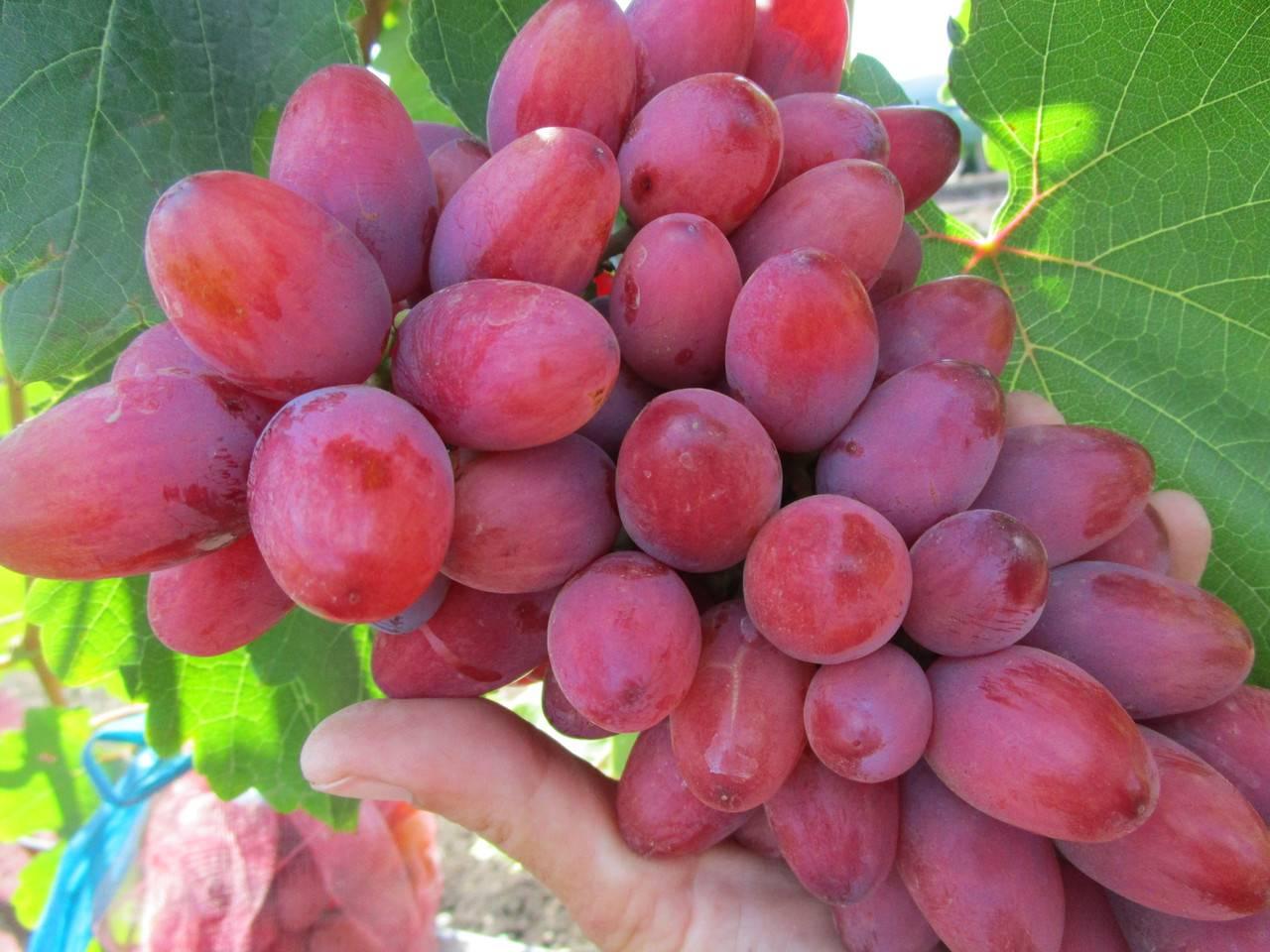 Выращивание винограда богема - мыдачники