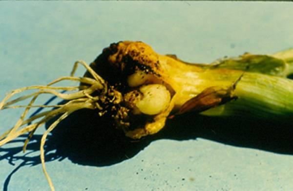Луковый скрытнохоботник – эффективные методы уничтожения