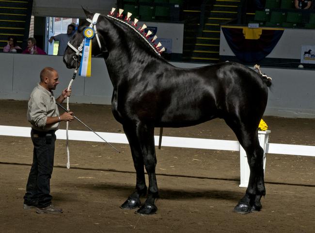 Першероны лошади: советы по содержанию и разведению знаменитых тяжеловозов