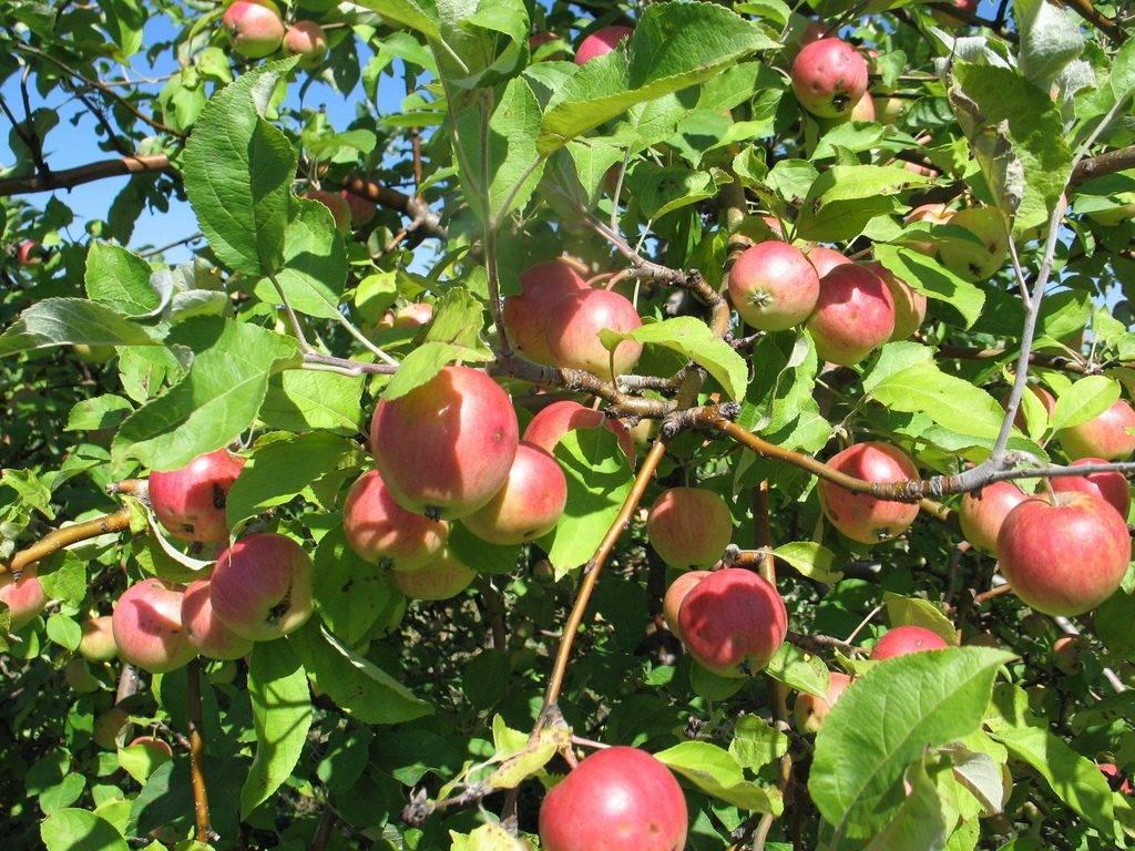 Сортовые особенности яблони северный синап