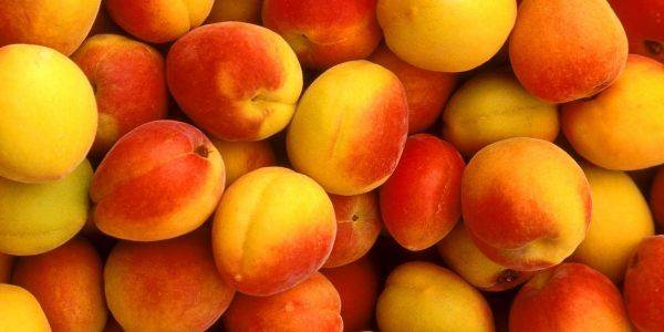 Сорта абрикоса для средней полосы россии, в том числе зимостойкие, самоплодные и низкорослые виды